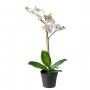 Orhidee, h= 38 cm